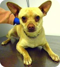 Chihuahua Mix Dog for adoption in Lincolnton, North Carolina - Taco