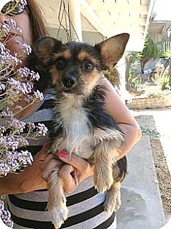Yorkie, Yorkshire Terrier/Tea Cup Poodle Mix Dog for adoption in Santee, California - Tiffany