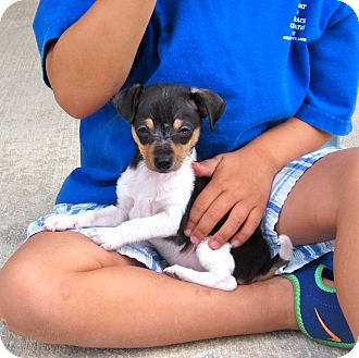 Chihuahua/Jack Russell Terrier Mix Puppy for adoption in Loxahatchee, Florida - TADPOLE