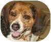Beagle Mix Dog for adoption in Eatontown, New Jersey - Dano