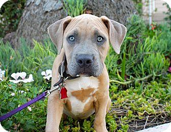 Mastiff Mix Puppy for adoption in Los Angeles, California - Gwendolyn