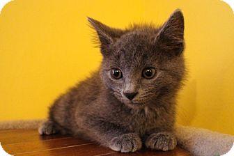 Domestic Shorthair Kitten for adoption in Cincinnati, Ohio - Heath