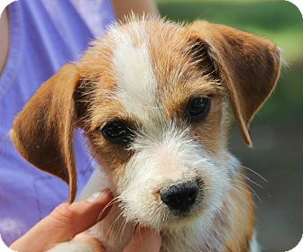 Beagle Mix Puppy for adoption in Chicago, Illinois - Louisa