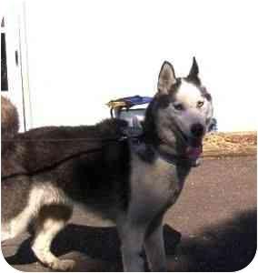Siberian Husky Dog for adoption in Horsham, Pennsylvania - Quinn