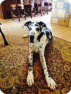 Great Dane Dog for adoption in Mesa, Arizona - Maximus