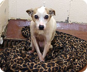 Jack Russell Terrier Mix Dog for adoption in McDonough, Georgia - Bernie (special needs)