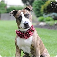 American Staffordshire Terrier Mix Dog for adoption in Dublin, Ohio - Meeko