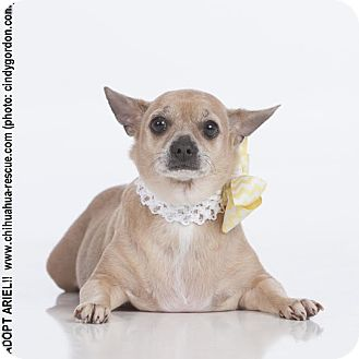 Chihuahua Mix Dog for adoption in Dallas, Texas - Ariel