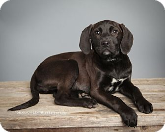 Labrador Retriever/Beagle Mix Puppy for adoption in Hagerstown, Maryland - Katniss