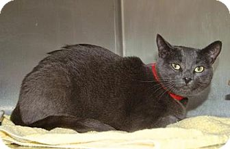 American Shorthair Cat for adoption in Englewood, Florida - Stella