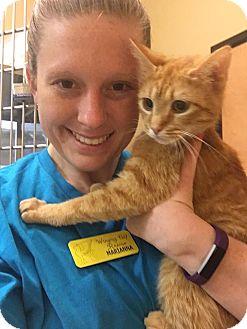 Domestic Shorthair Cat for adoption in McDonough, Georgia - Marmalade