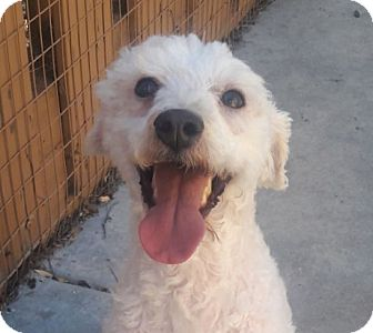 Poodle (Miniature)/Maltese Mix Dog for adoption in Fremont, California - Romeo