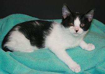 Domestic Shorthair Kitten for adoption in Riverside, California - Simon