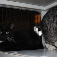 Domestic Shorthair Kitten for adoption in Bay City, Michigan - Winston
