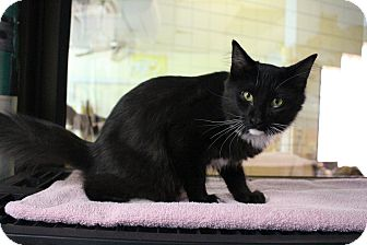 Domestic Mediumhair Cat for adoption in Battle Creek, Michigan - Spud