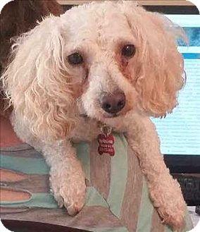 Poodle (Miniature) Mix Dog for adoption in Encino, California - Cha Cha