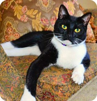 Domestic Shorthair Cat for adoption in Buford, Georgia - Lucky