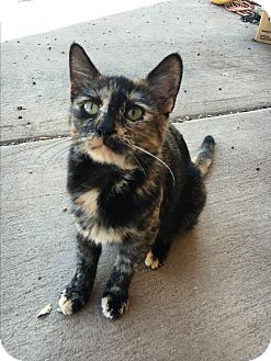 Domestic Shorthair Cat for adoption in Weatherford, Texas - *KATIE*