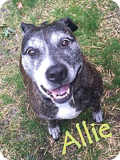 "Pit Bull Terrier/Boxer Mix Dog for adoption in Cleveland Heights, Ohio - Allie~ The ""Dream"" Dog"