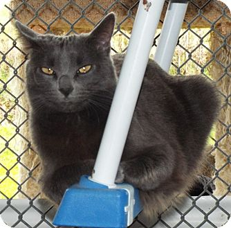 Domestic Shorthair Cat for adoption in Grants Pass, Oregon - Makayla