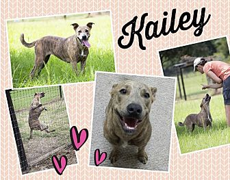 Staffordshire Bull Terrier/Australian Cattle Dog Mix Dog for adoption in Orange Lake, Florida - Kailey