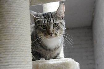 Domestic Shorthair Cat for adoption in Pine Bush, New York - Starlet