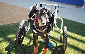 Doberman Pinscher/Labrador Retriever Mix Dog for adoption in Redwood City, California - Jane