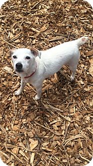 Jack Russell Terrier Mix Dog for adoption in South Park, Pennsylvania - Hazel
