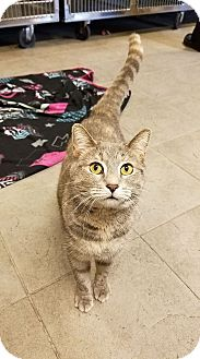 Domestic Shorthair Cat for adoption in Sewaren, New Jersey - Queenie
