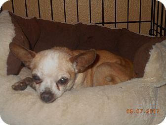 Chihuahua Mix Dog for adoption in haslet, Texas - king