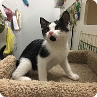 American Shorthair Kitten for adoption in Homewood, Illinois - Maui