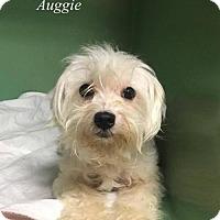 Adopt A Pet :: Auggie - Chester, IL