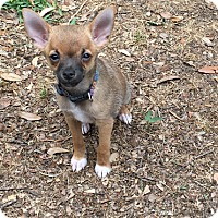 Adopt A Pet :: Delta - Puppy - Dallas, TX