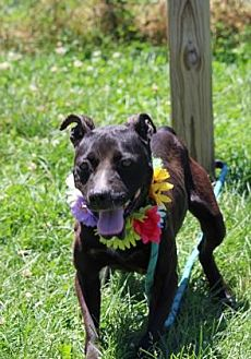 Pit Bull Terrier Mix Dog for adoption in Anderson, Indiana - Queen
