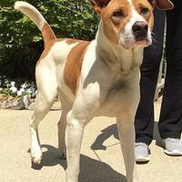 Adopt A Pet :: shep - Dahlonega, GA