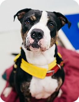 Pit Bull Terrier Mix Dog for adoption in Binghamton, New York - Bruno