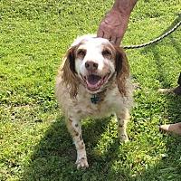 Adopt A Pet :: ANGEL - Cadiz, OH