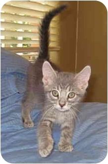 Domestic Shorthair Kitten for adoption in Davis, California - D2