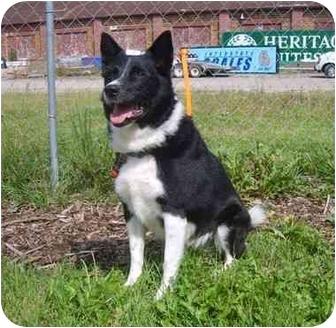 Border Collie Dog for adoption in Austin, Minnesota - Pepper