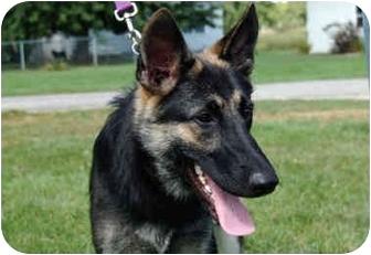 German Shepherd Dog Mix Dog for adoption in Northville, Michigan - Ellie
