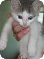 Domestic Shorthair Kitten for adoption in Warren, Michigan - Snow