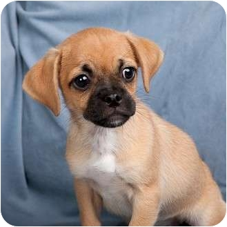 jack russell pug mix puppy chastity adopted puppy anna il pug jack russell 9921