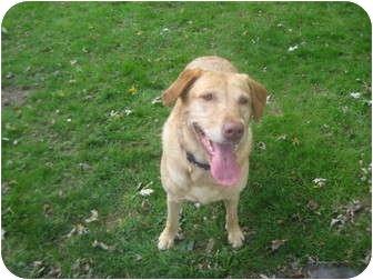 Labrador Retriever Dog for adoption in Lewisville, Indiana - Maddie