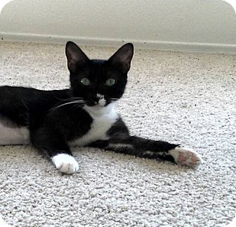 Domestic Shorthair Cat for adoption in San Diego, California - Emma
