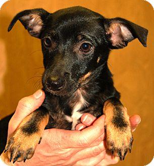Miniature Pinscher/Terrier (Unknown Type, Small) Mix Puppy for adoption in Hagerstown, Maryland - Sugar