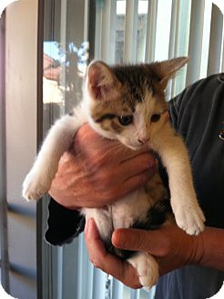 Domestic Shorthair Kitten for adoption in Santa Monica, California - Yumi