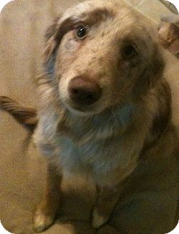 Australian Shepherd Mix Puppy for adoption in Tracy, California - Daisy May ADOPTED!!!