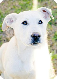 Labrador Retriever Mix Dog for adoption in Birmingham, Alabama - Sasha