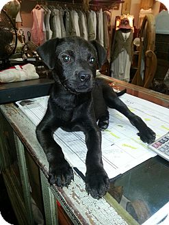Labrador Retriever Mix Puppy for adoption in North Brunswick, New Jersey - Beauty