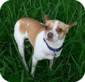 Chihuahua Mix Dog for adoption in Brattleboro, Vermont - Juju  loves to cuddle
